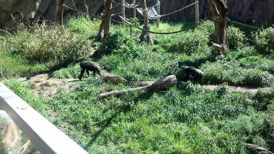 St. Louis Zoo: Chimpanzees going down the trail