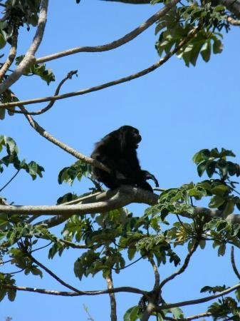 Reserva Conchal Beach Resort, Golf & Spa : monkeys are common sight seeing