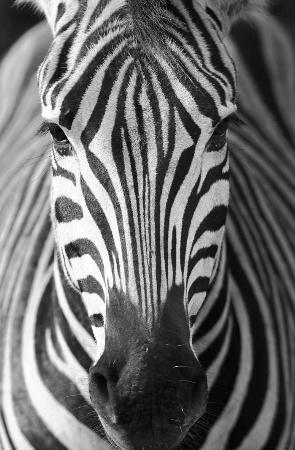 andBeyond Phinda Vlei Lodge: Zebra CLose Encounter