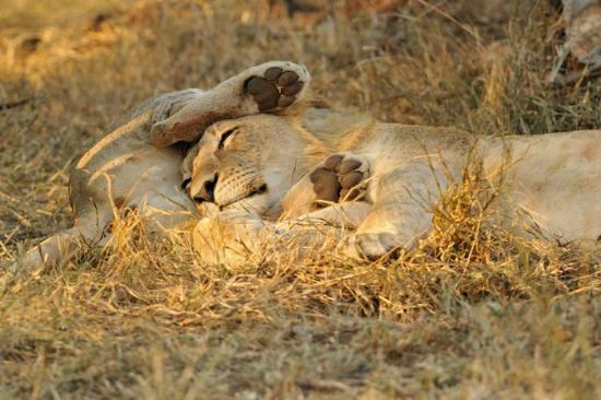 andBeyond Phinda Rock Lodge: Lion cubs napping