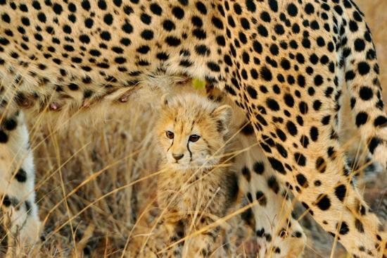 andBeyond Phinda Rock Lodge: Cheetah cub beneath mother
