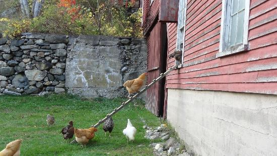 Farmhouse Inn at Robinson Farm: it's 5:00 pm, time to go home say the friendly chickens!