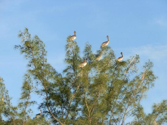 Pelicans in tree at Humphris Park