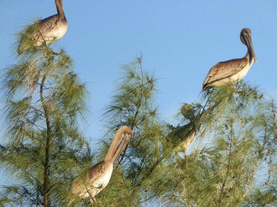 Pelicans in trees at Humphris Park