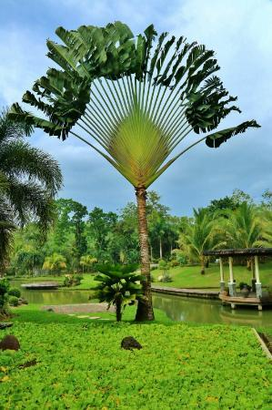 Rafael Farms Garden Restaurant: nice gigantic palm tree