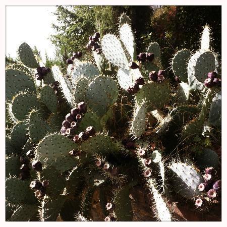 Rocca di Cispiano: Cactus