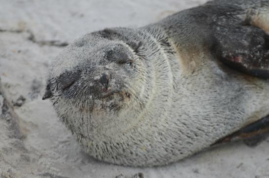 East Falkland, Falklandy: an artic seal resting