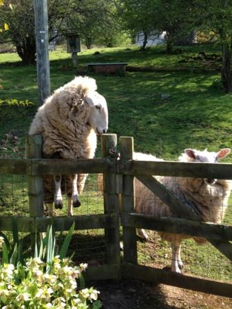 Mole Creek Cabins: They are photogenic sheep!