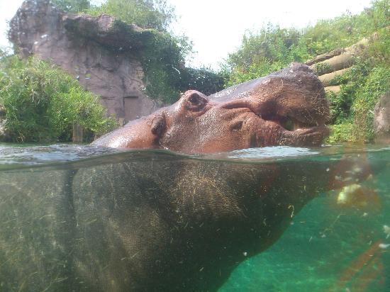 บุช การ์เด้นส์: Bassin aux Hippopotames