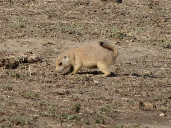Roberts Prairie Dog Town Badlands National Park All You Need