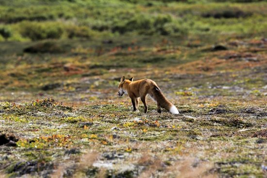 Homer, AK:                   Red Fox