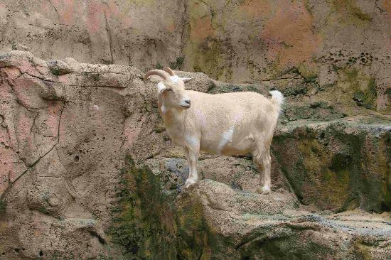 Rainforest Adventures: goat