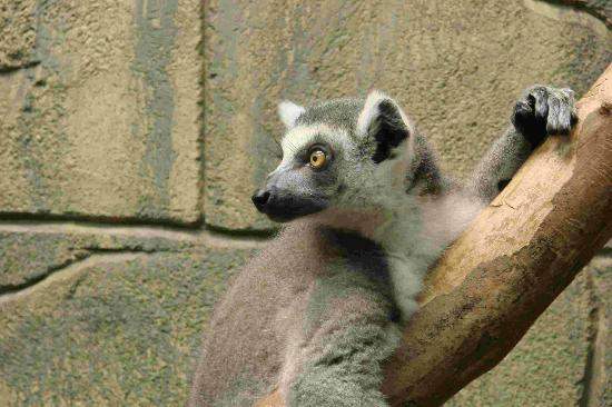 Rainforest Adventures: lemur