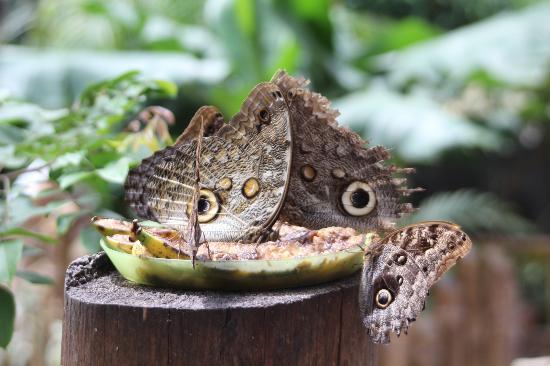 Mariposas de Mindo - Butterfly Garden: butterfly garden