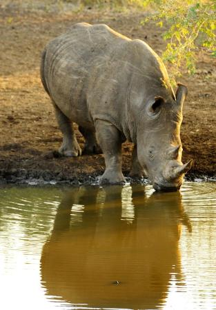 Zulu Nyala Game Lodge: white rhino drinking at watering hole