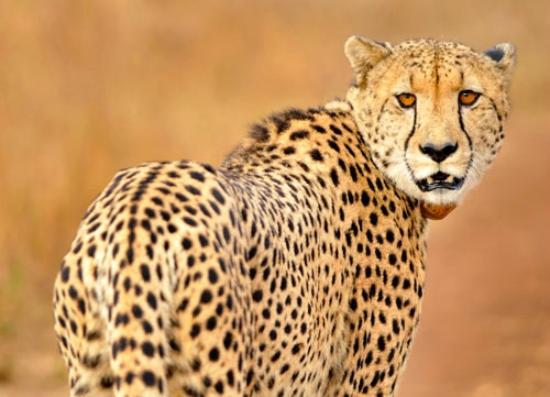 Zulu Nyala Game Lodge: Cheetah on the hunt