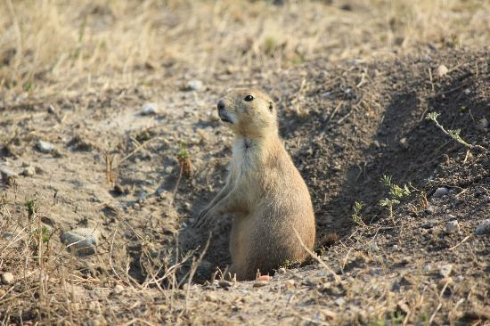 Weites Land Picture Of Roberts Prairie Dog Town Badlands National