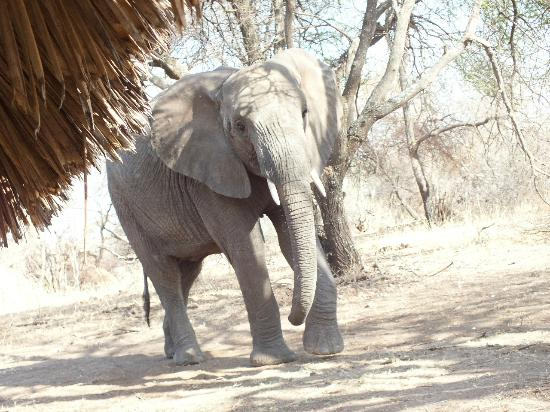 Tarangire Safari Lodge: Thatch robber.