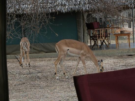 Tarangire Safari Lodge: Safely grazing.
