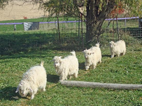 Bluffscape Amish Tours: Austin's Mohair Goat Farm - I loved seeing the little goats, so friendly!