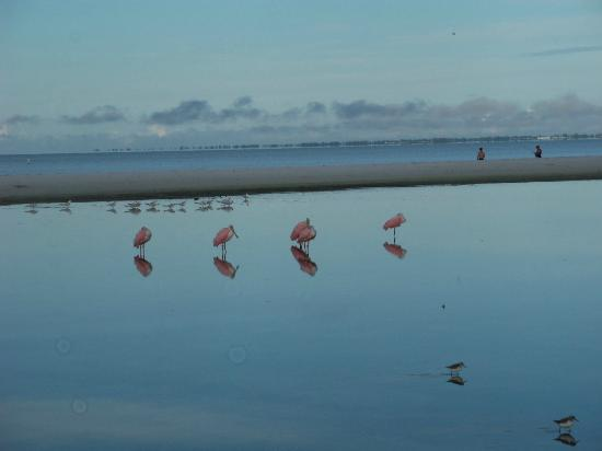 Gulfview Manor Resort: Pink Spoonbills wading in the water.
