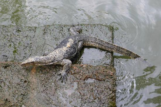 Hotel Puri: Monitor Lizard