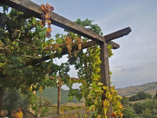 Agriturismo Podere San Lorenzo: grape vines on pergola