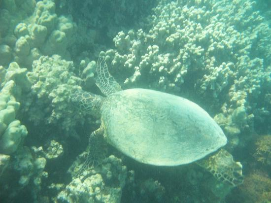 Waikoloa Beach Marriott Resort & Spa: snorkling off beach