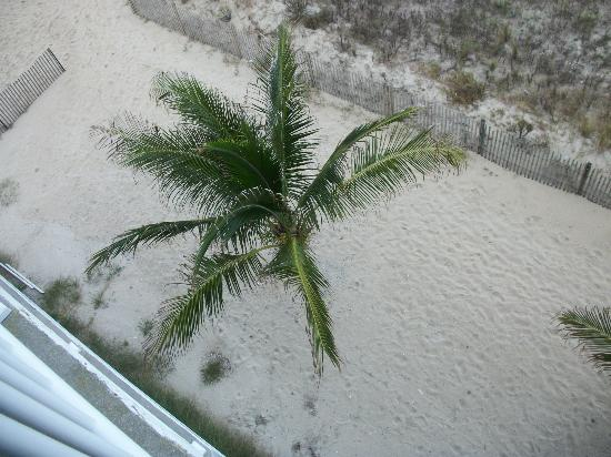 Atlantic Oceanfront Inn: These are the palm trees down below our room