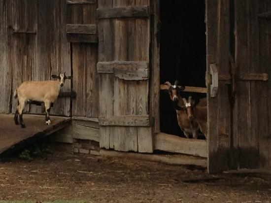 Springfield Bed and Breakfast: Goats on the grounds