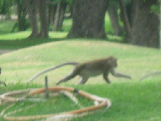 Royal Hua Hin Golf Club: Monkeys!