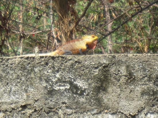 Ancient Villa Hotel: One of the lizards seen in the gardens