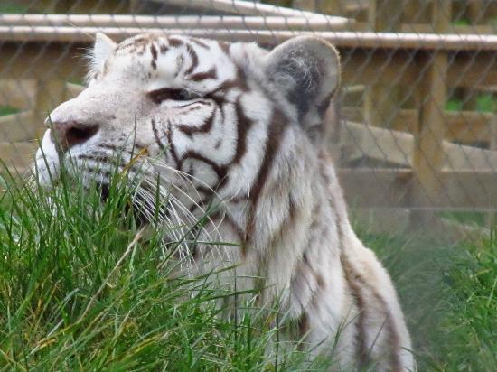 Pouakai Zoo: Cross-eyed white tiger