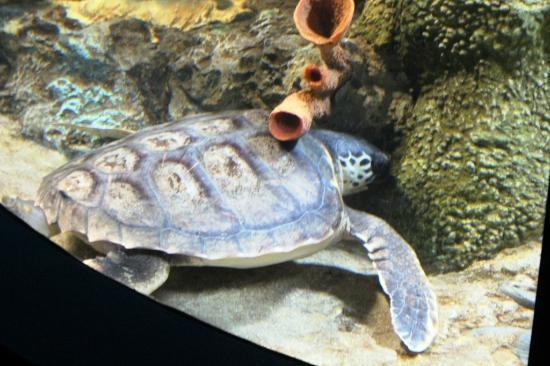 Lisbon Oceanarium: Turtle