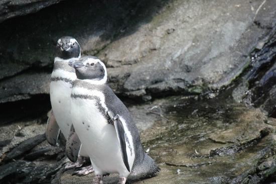Lisbon Oceanarium: Penguins