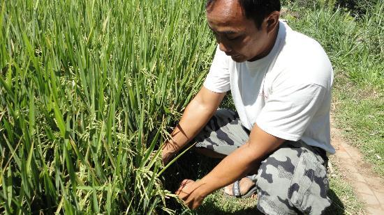 Buleleng, Indonesia: Rijstplant