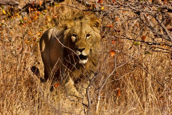Motswari Private Game Reserve: Leone a caccia