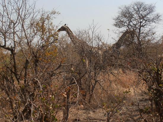 Zambezi River: Giraffes at the Park.