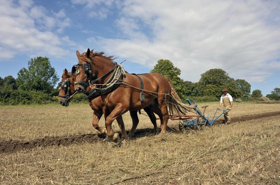Our Suffolk Punch Horses Help To Plough The Fields Down On
