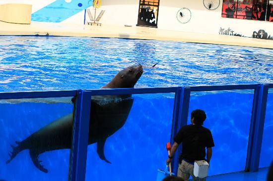 Izu Mito Sea Paradise: Giant sea lion, much bigger than its trainer but still capable of interesting tricks