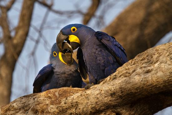 Araras Pantanal Ecolodge: Hyacinth Macaws outside our bedroom