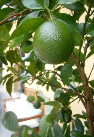 Hotel Meridiana: A lime on a tree outside the main door