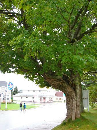 Cleveland Place Bed & Breakfast : Sugar maple tree in the front yard