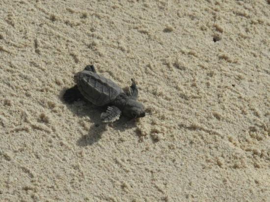 Dover, Barbados: Baby Turtle