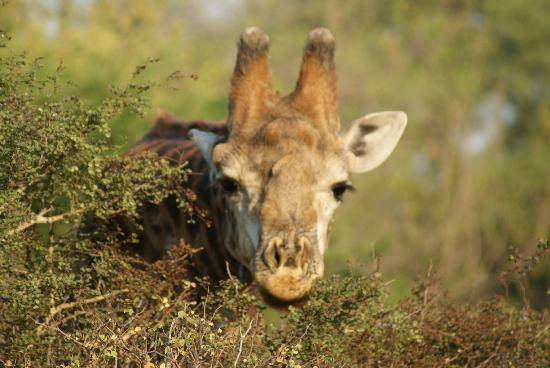 Serondella Game Lodge: Gorgeous close up of a giraffe taking in some lunch