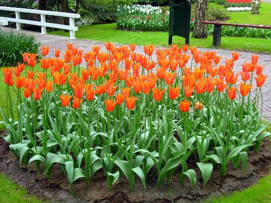 Tulipanes ballerina fotograf a de keukenhof jard n de la cocina lisse tripadvisor - Jardines de tulipanes en holanda ...
