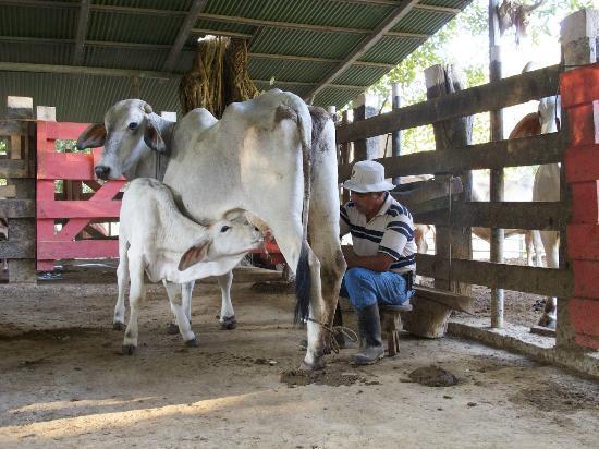 Fidelito Ranch & Lodge: Die Kälber dürfen trinken während die Kühe gemolken werden.