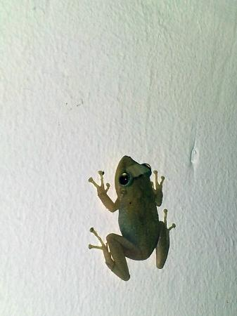 Coqui del Mar Guest House: A rare snapshot of the elusive Coqui tree frog