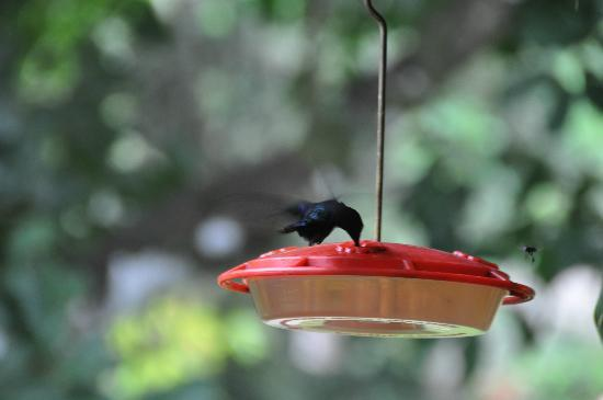 The Lodge and Spa at Pico Bonito: Hummingbird