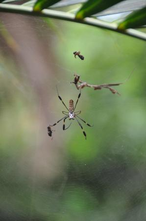 The Lodge and Spa at Pico Bonito: Scary Spider